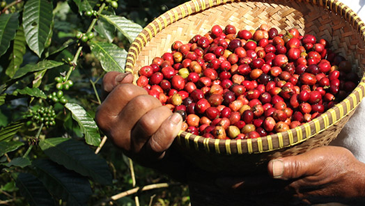 The production and the processing of green coffee